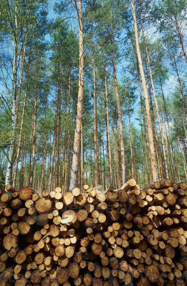 mucchio di legno impilato in una foresta di pini foto