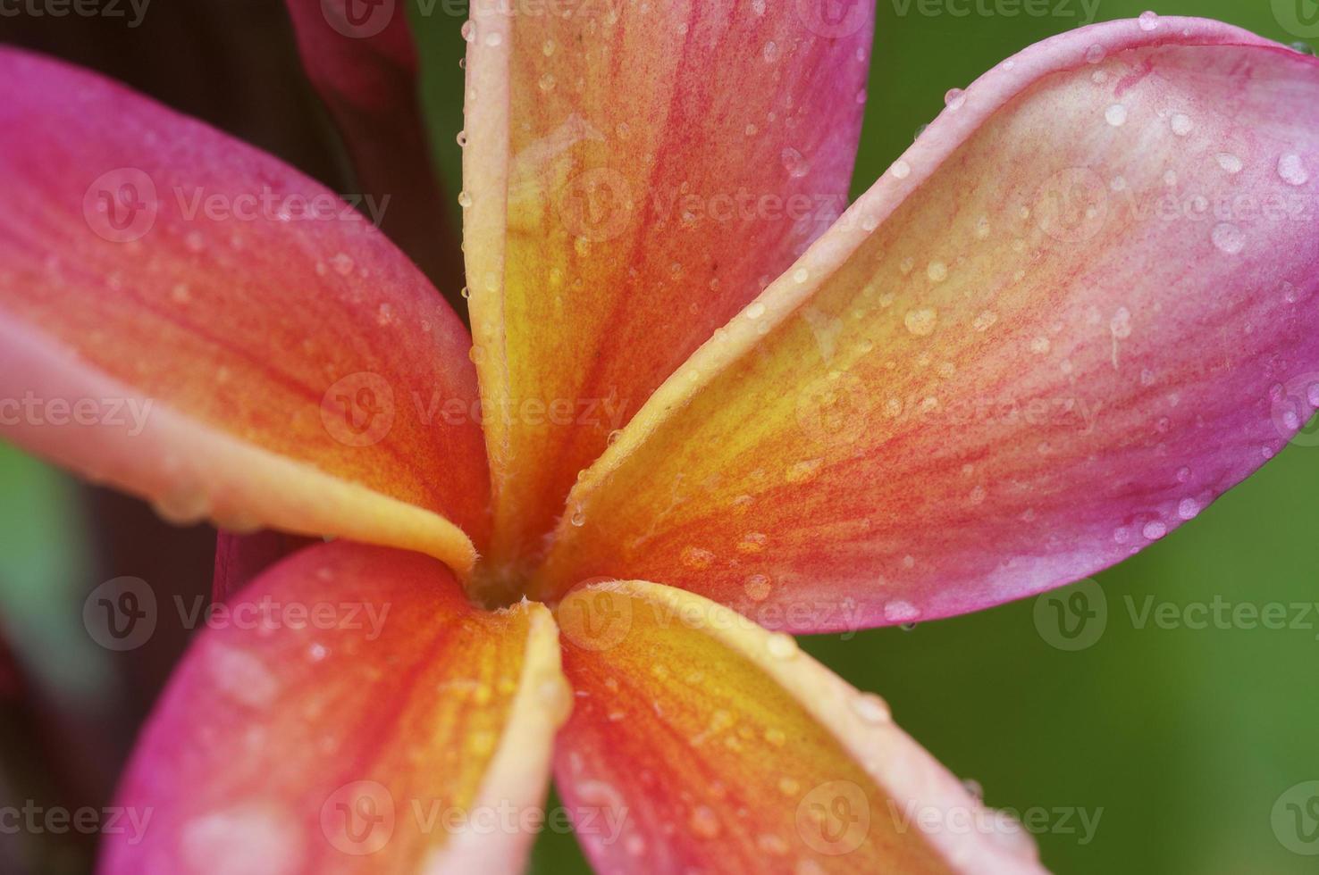 Plumeria dopo una leggera pioggia foto