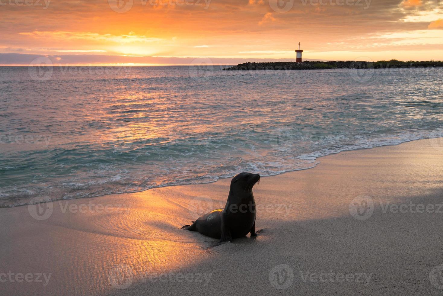 cucciolo di foca a punta carola, isole galapagos foto