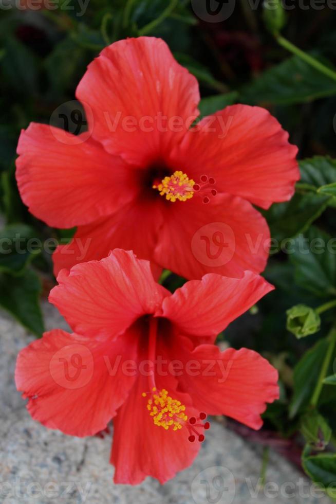 doppio fiore tropicale rosso dell'ibisco foto
