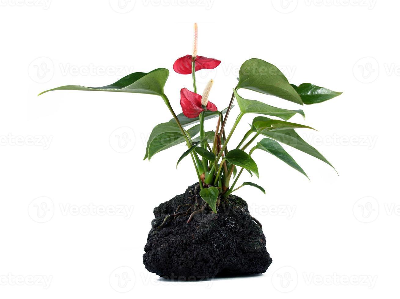 pianta di roccia lavica foto