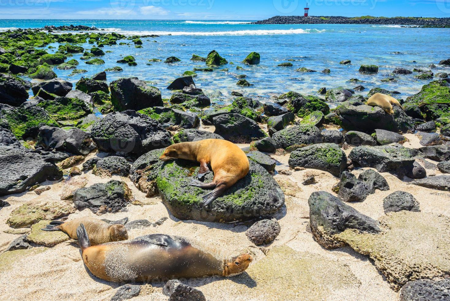 foche sulla spiaggia di punta carola, isole galapagos (ecuador) foto