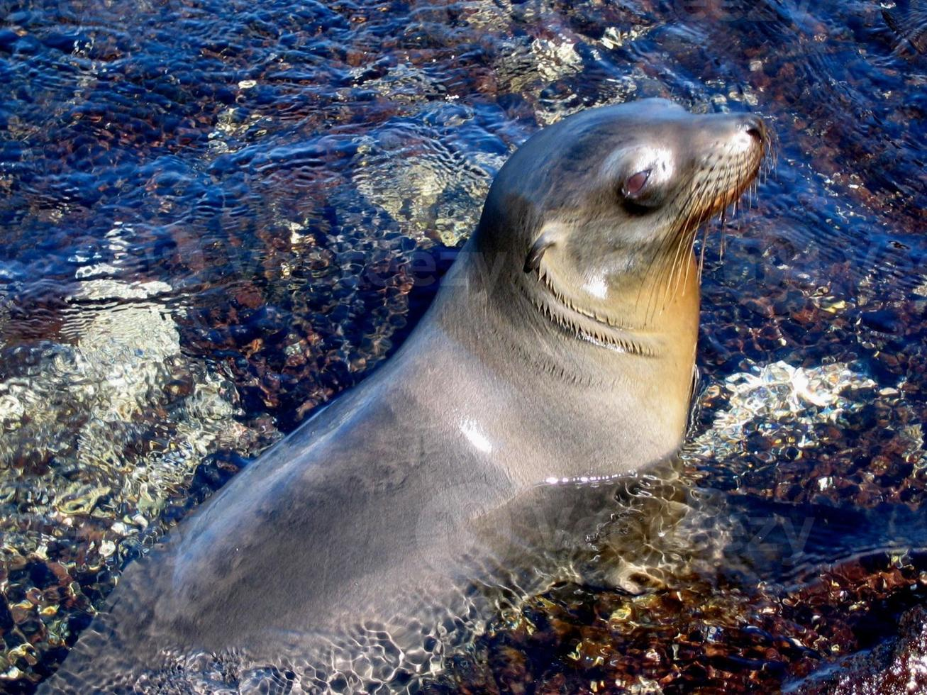 Leone marino delle Galapagos che si rilassa nella piscina di marea foto