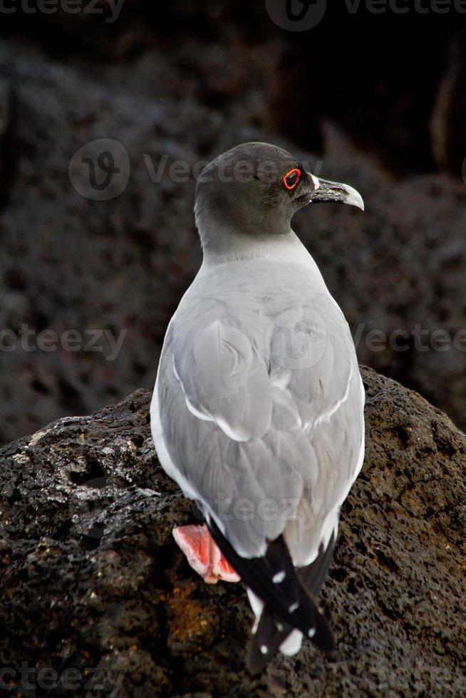 ingoiare gabbiano coda nelle isole galpagos foto