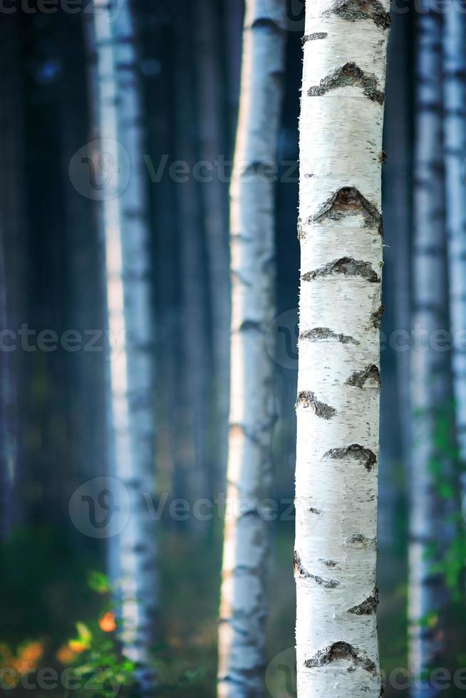foresta di betulle blu foto