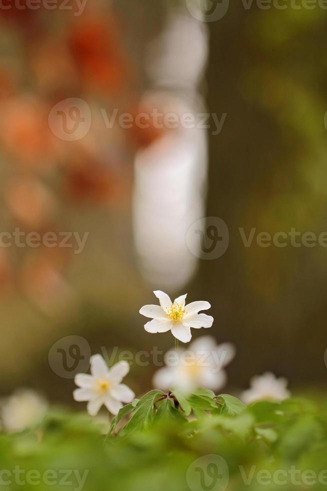 anemone nemorosa, anemone di legno foto