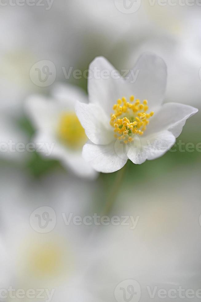 anemone di legno foto