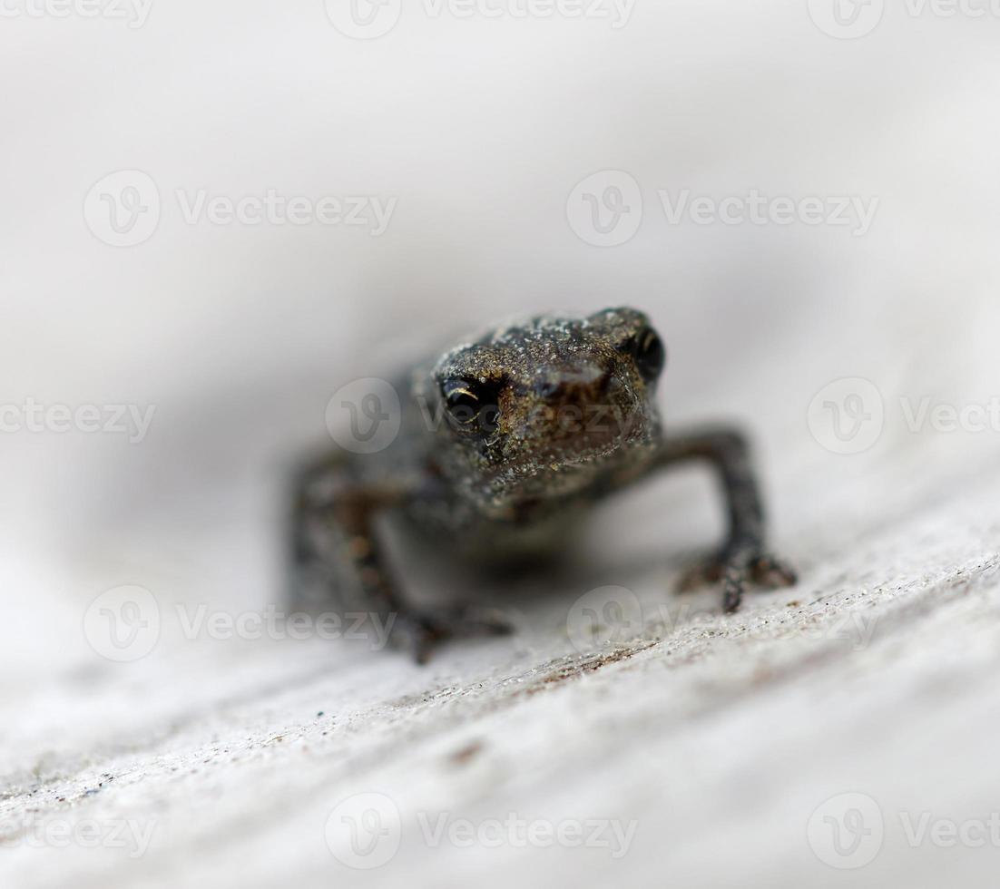 vista frontale di baby frog foto