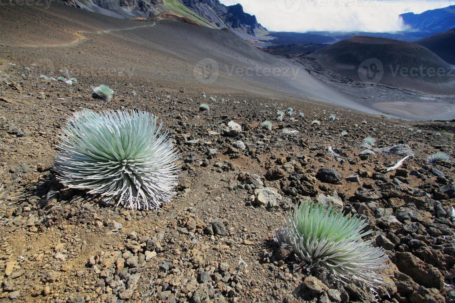 pianta silversword, parco nazionale di haleakala foto