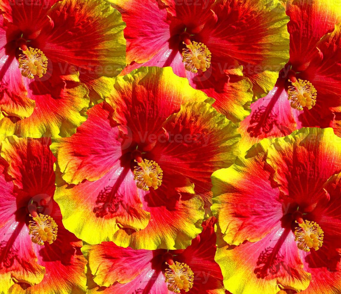 fiori di ibisco hawaii foto