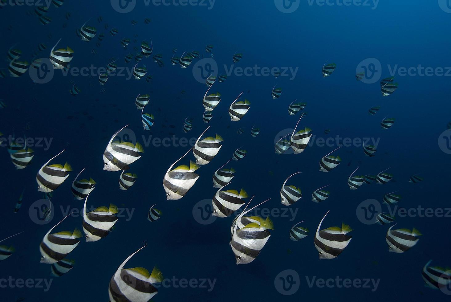 scuola di bannerfish foto