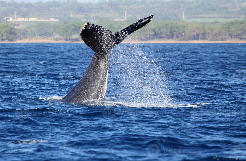 balena che ondeggia con la sua coda foto