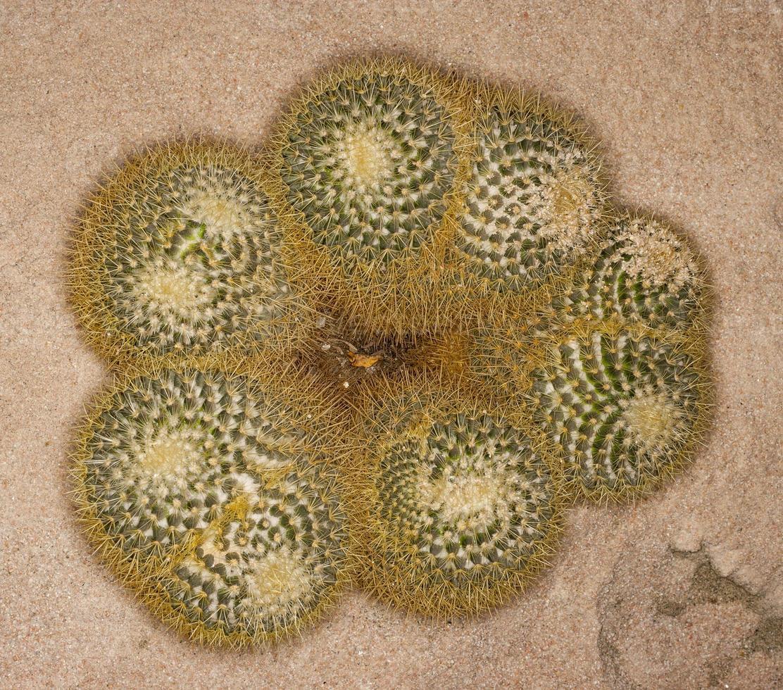 mammillaria pringlei (famiglia: cactaceae) foto