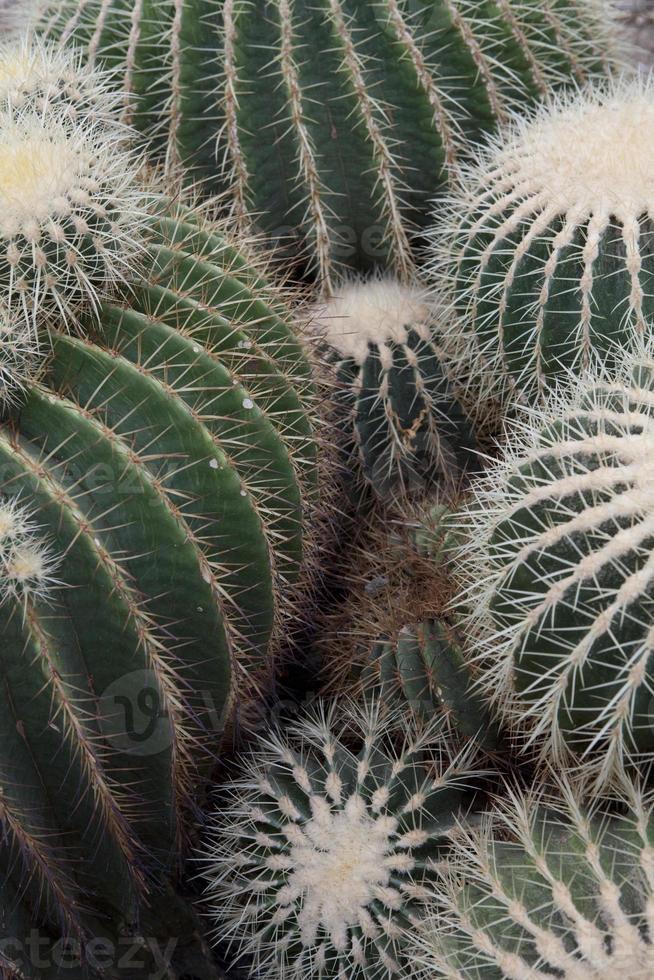 famiglia di cactus foto