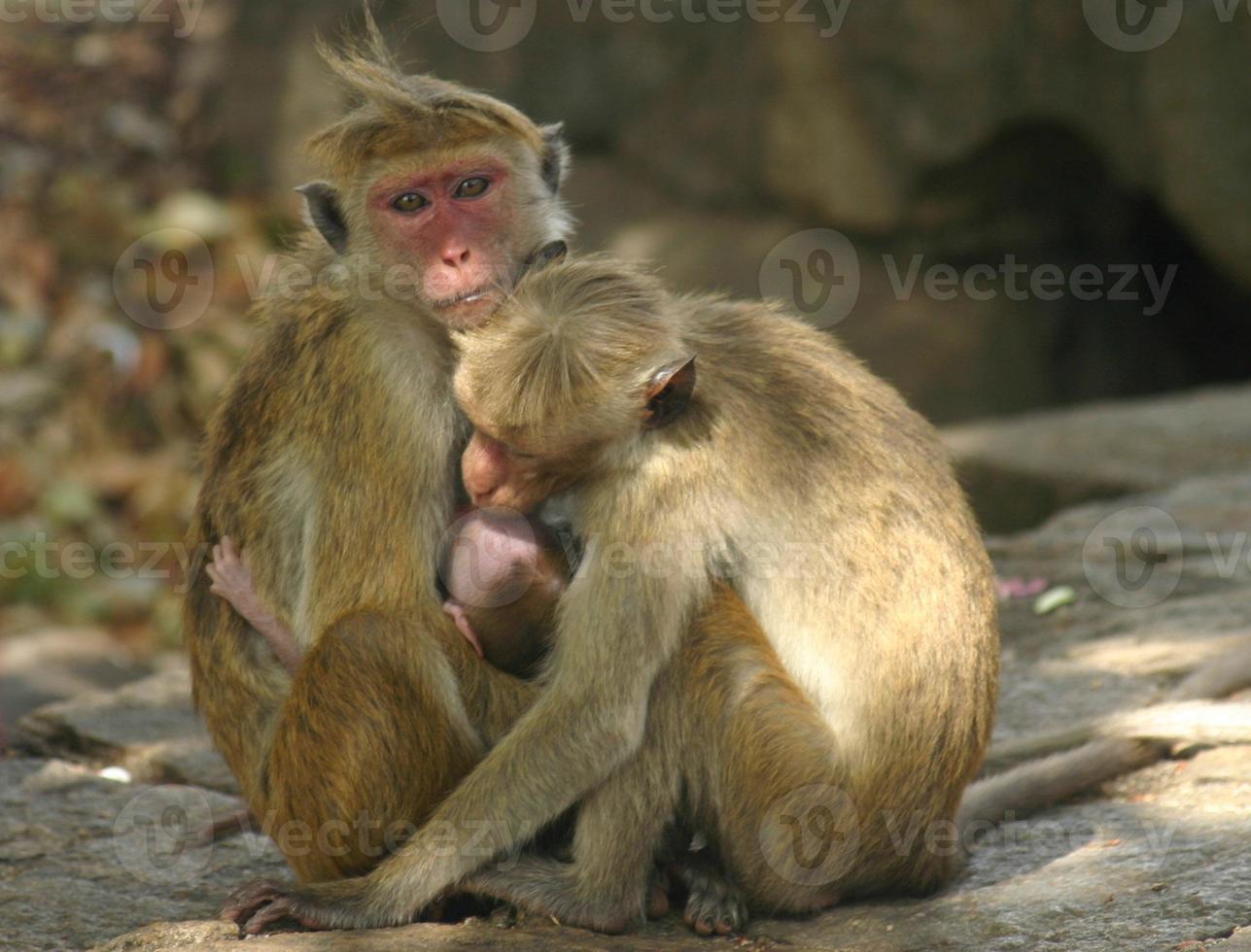 famiglia delle scimmie, sri lanka foto