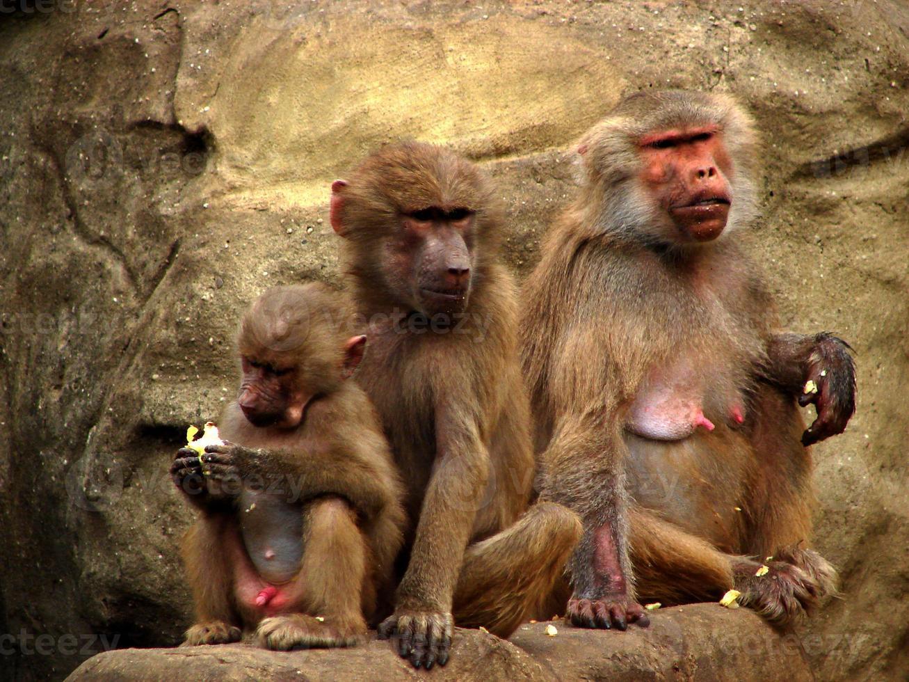 famiglia di babbuini foto