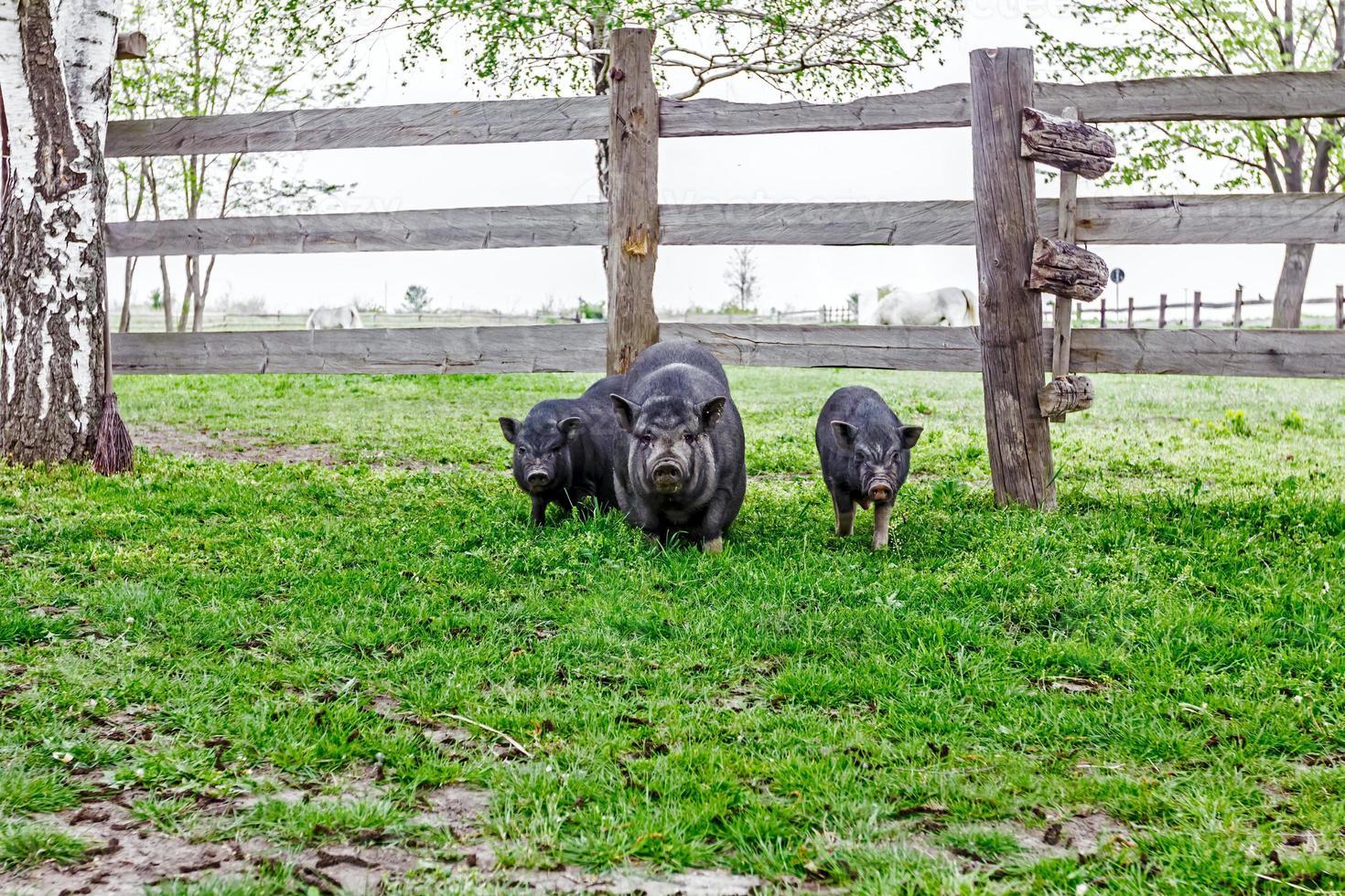 famiglia di maiali vietnamiti foto