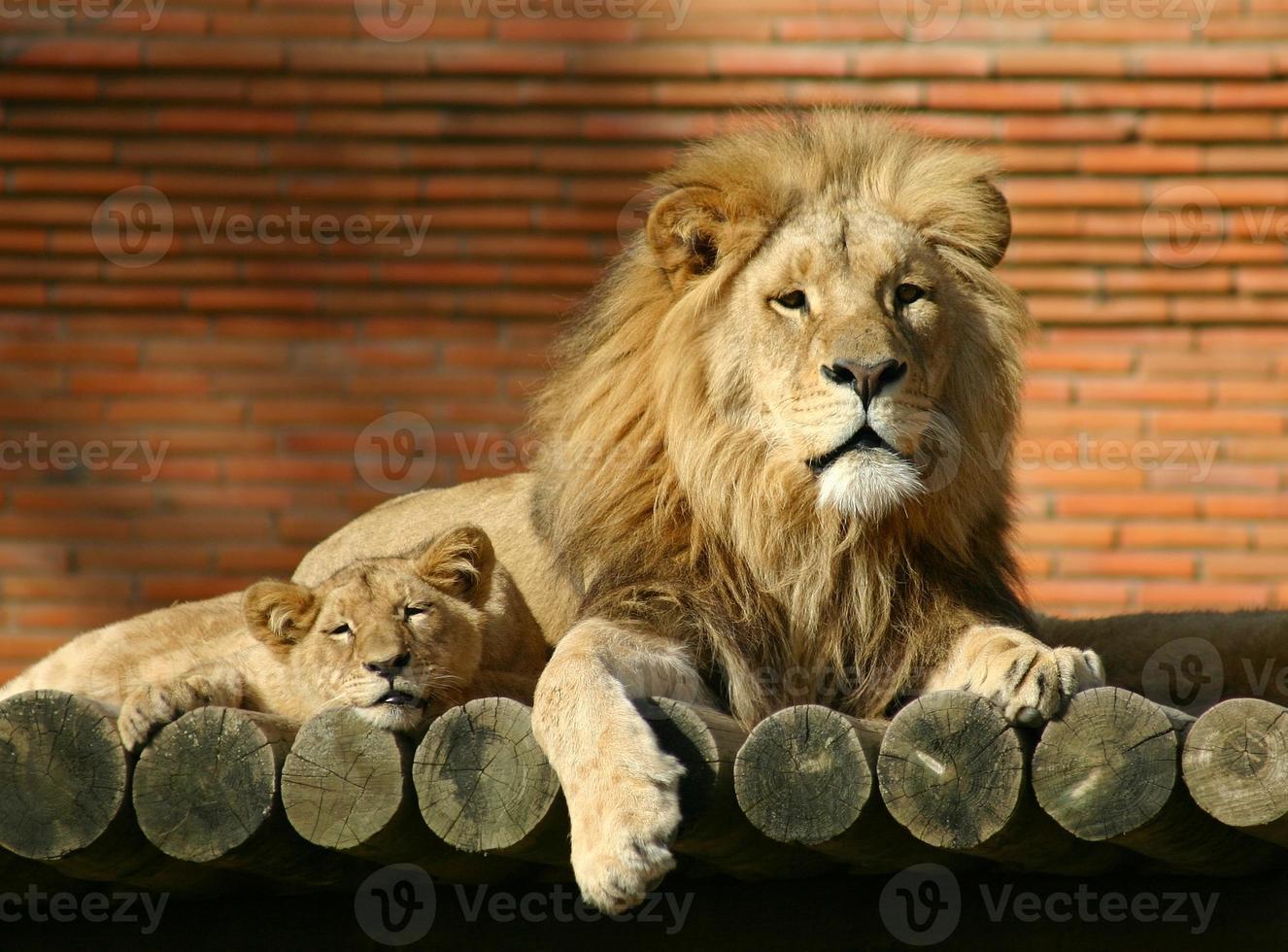 famiglia dei leoni foto
