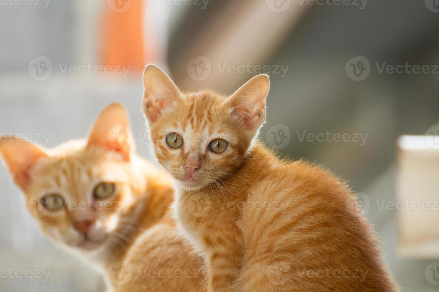 gatto tailandese della famiglia foto
