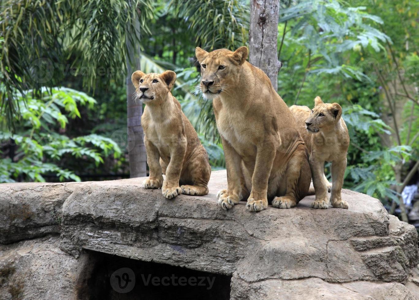 famiglia di leoni foto