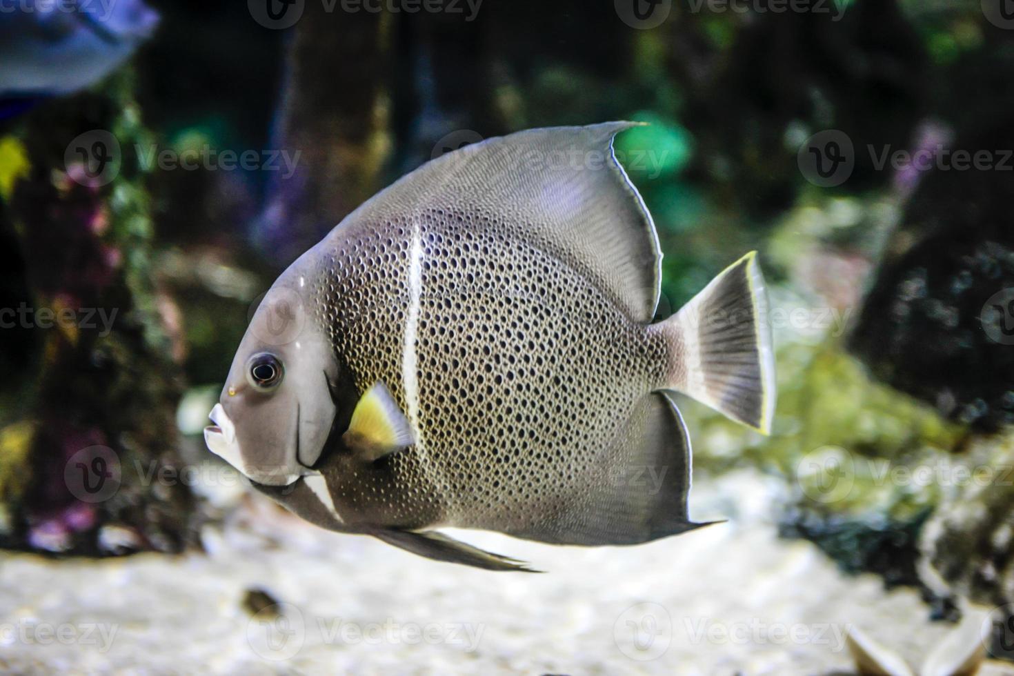 angelo di mare grigio della famiglia pomacanthidae foto