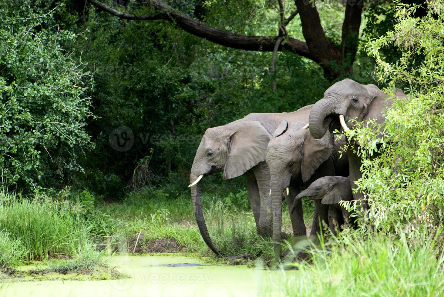 famiglia di elefanti acqua potabile foto