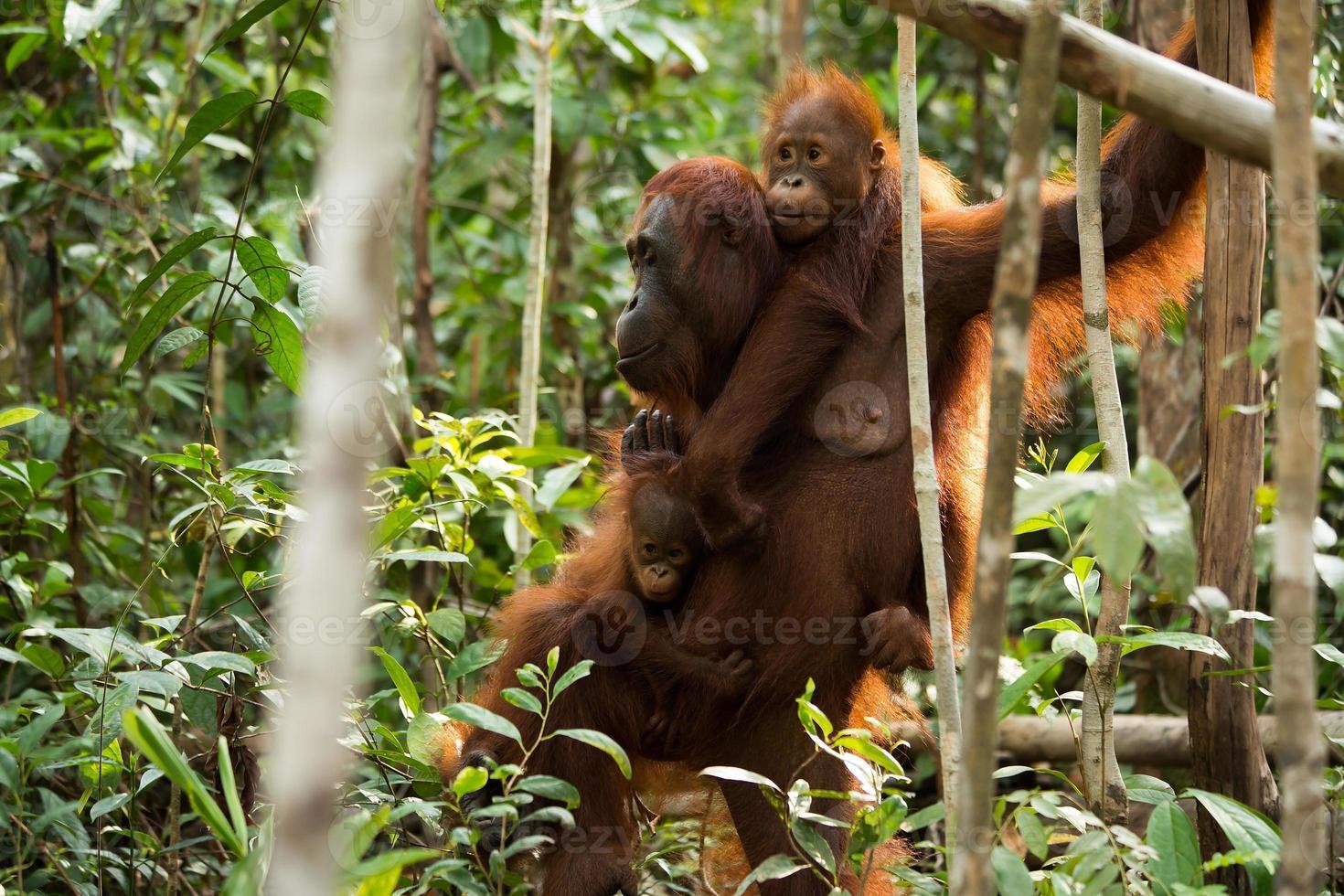 bella famiglia orabgutana nella giungla. foto