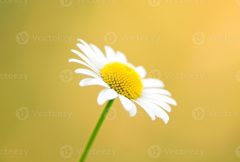 natura sfondo - margherita su uno sfondo giallo foto