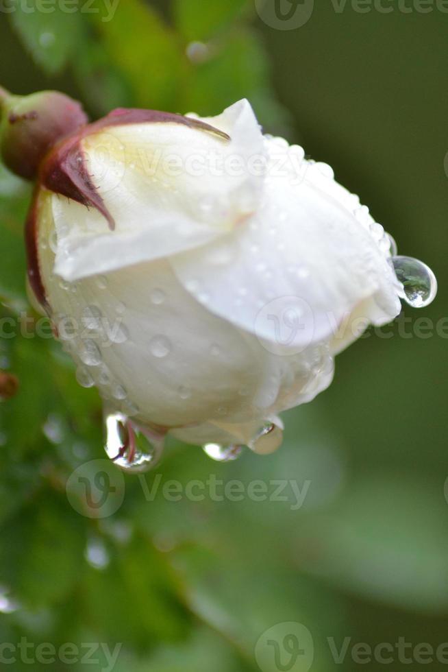 mezza estate rosa con goccia di pioggia foto