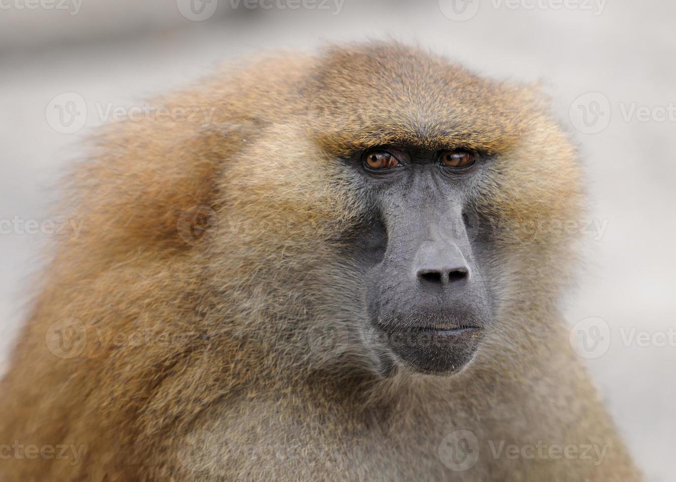 ritratto del babbuino foto