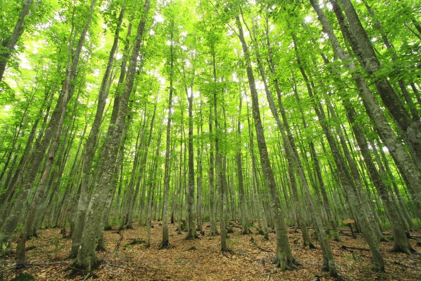 foresta di faggi foto