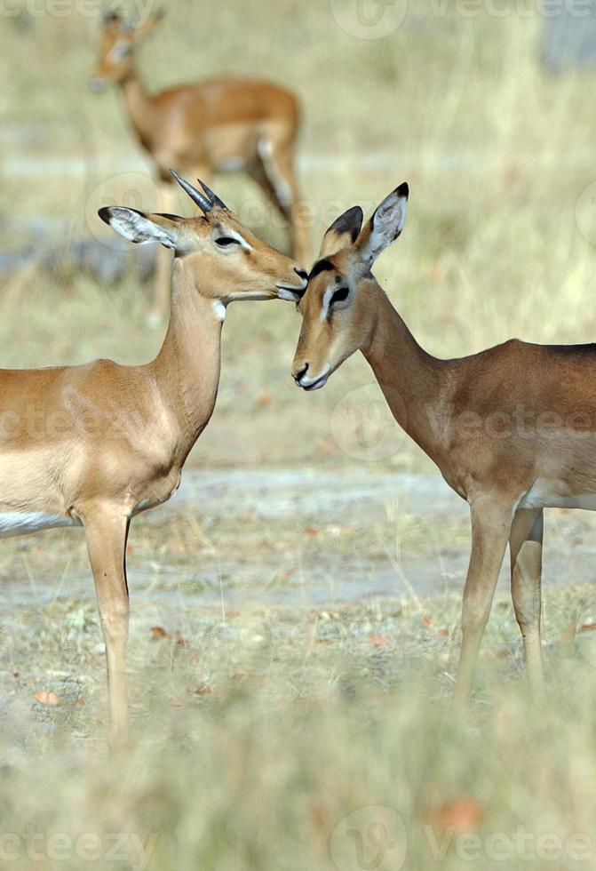 toelettatura impala, botswana foto