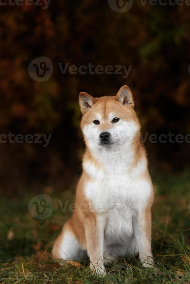 Shiba giapponese rosso della razza del cane che cammina nel parco foto