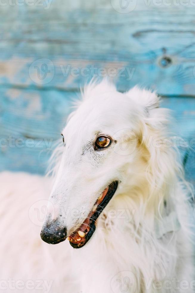 cane russo borzoi wolfhound foto