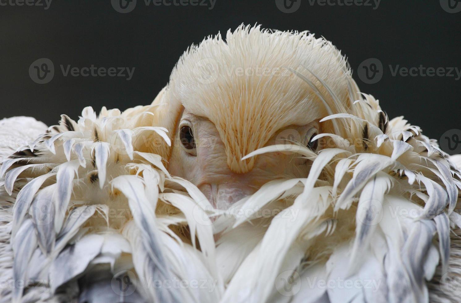 ritratto di pellicano bianco foto