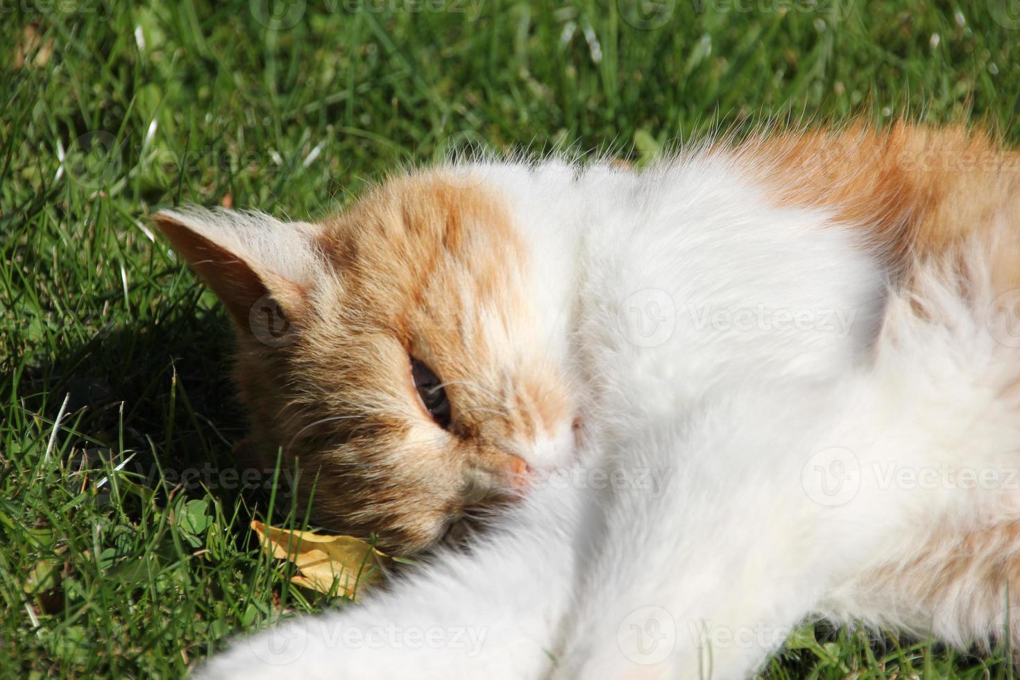 gatto rosso e bianco che gode del sole foto