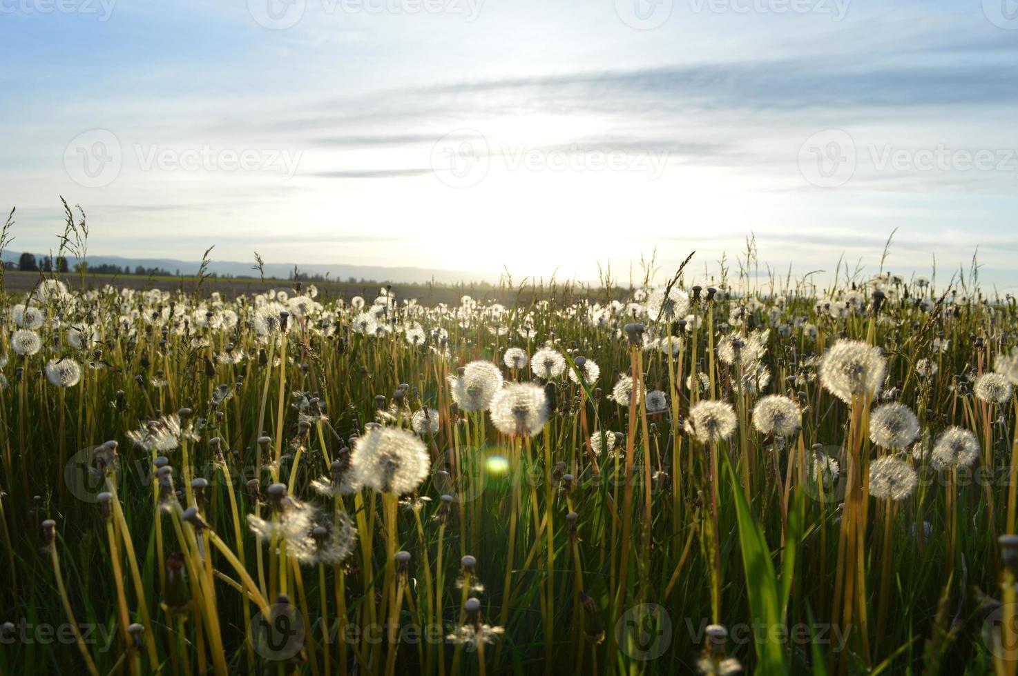 campo di tarassaco in estate foto