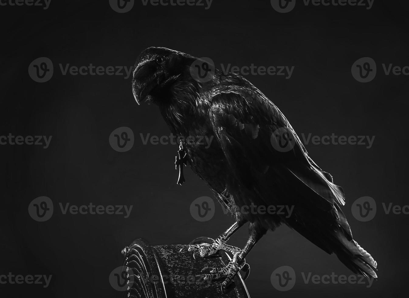 Corvo nero foto