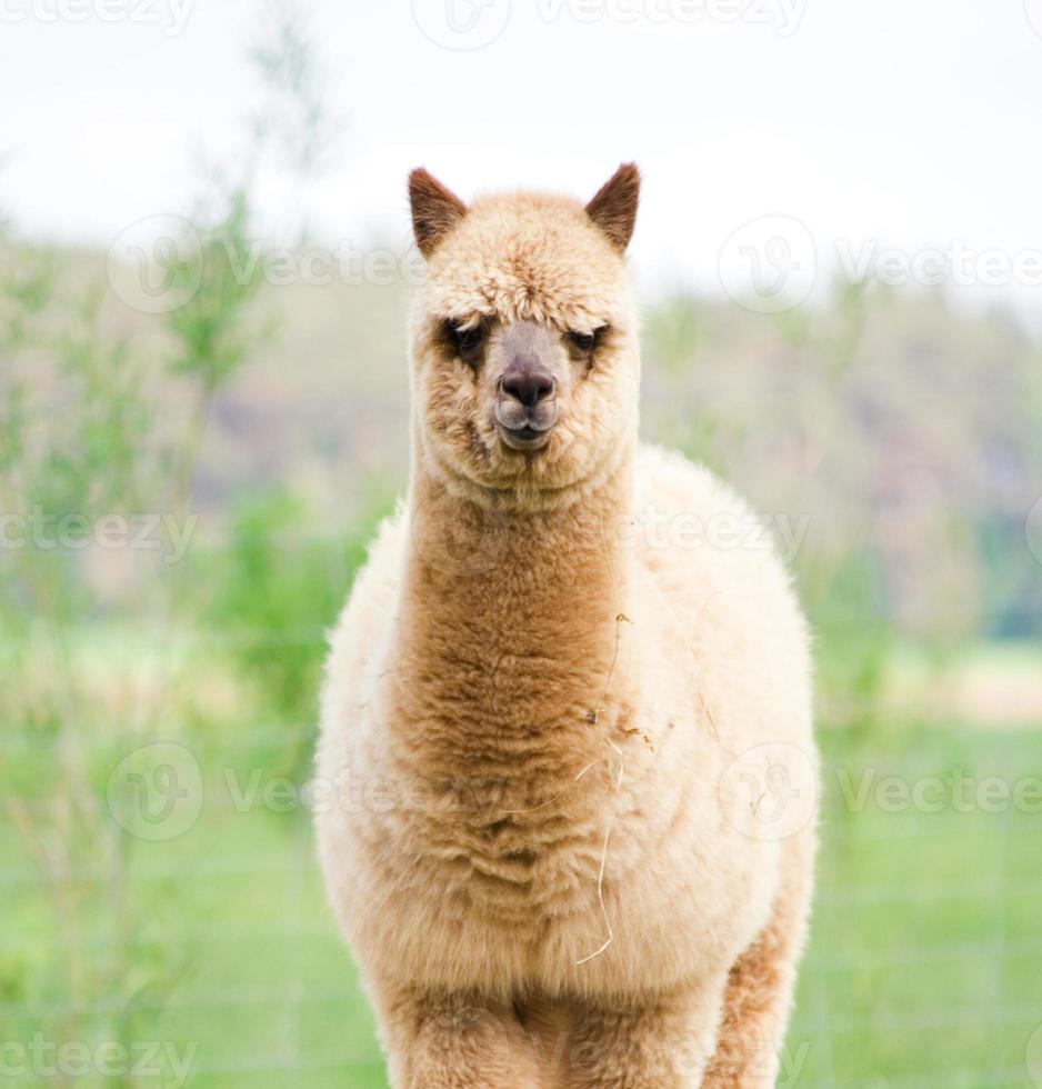ritratto di alpaca foto
