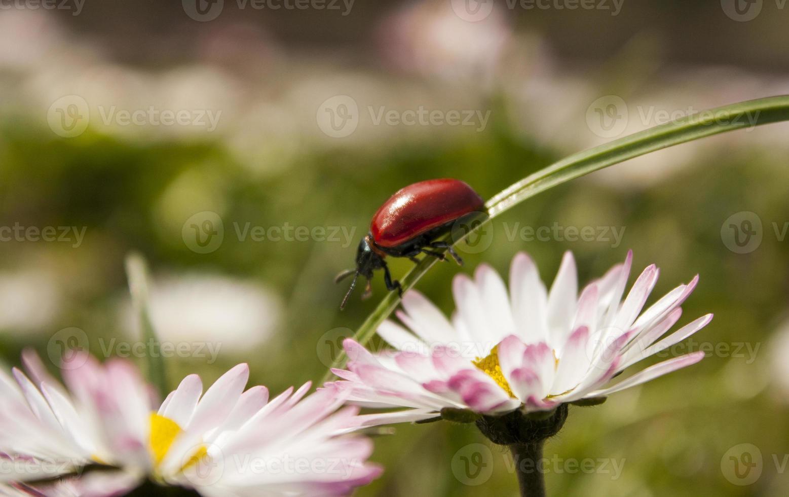 coccinella sull'erba foto
