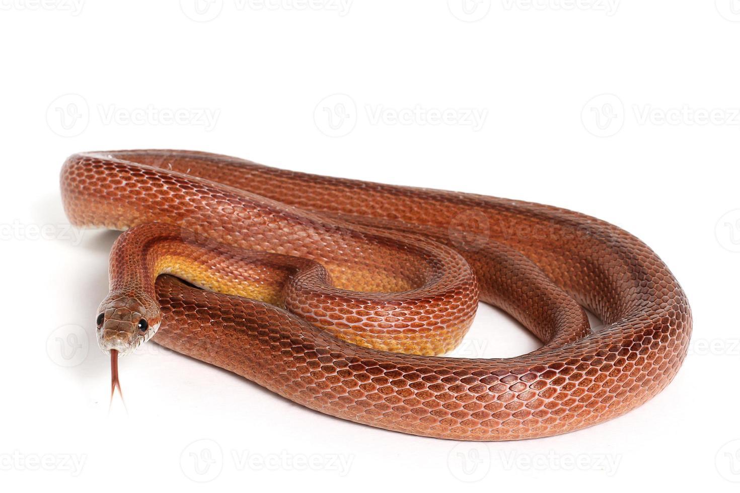 serpente di mais foto