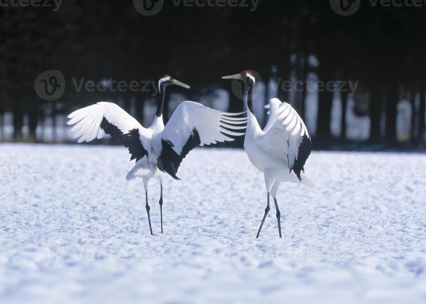 danza giapponese corteggiamento gru foto