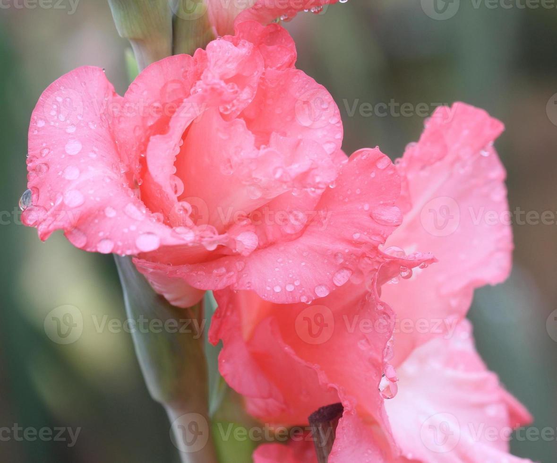goccia di pioggia macro sul fiore, fiore di gladiolo foto