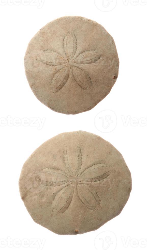 dollari di sabbia comuni foto