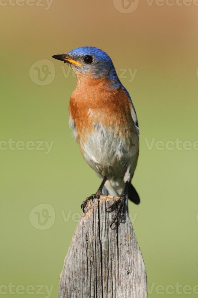 uccello azzurro orientale maschio foto