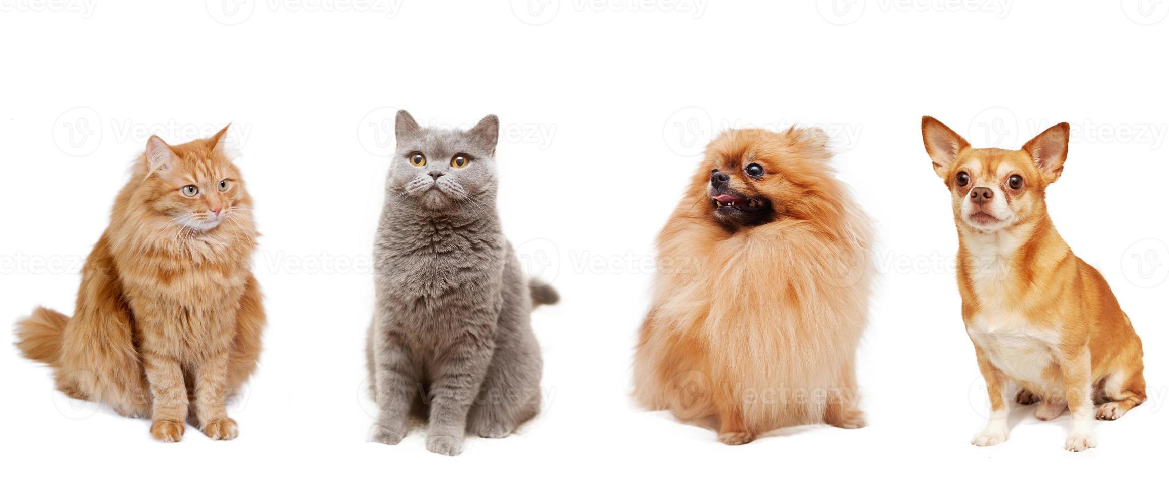 pomeranian, chihuahua, gatto britannico e un soffice gatto rosso isolato foto