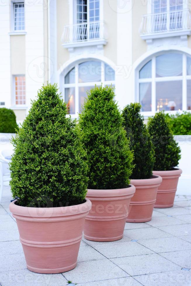 alberi in vaso ornamentali foto