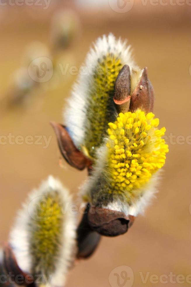 fiori di salice foto