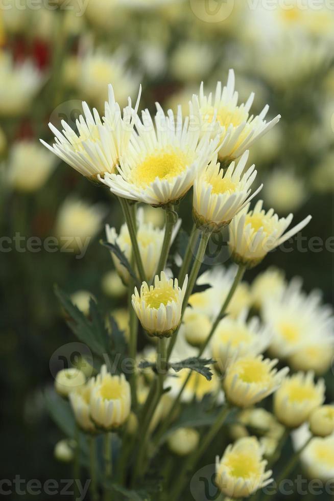 fiori di crisantemi foto