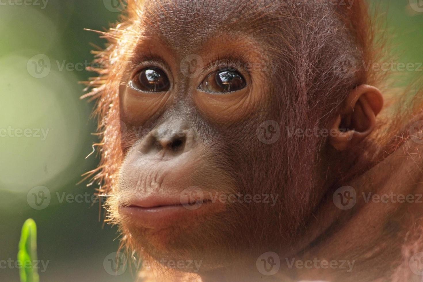 orangutan del bambino foto